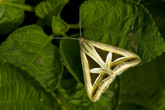 Tryangle butterfly Stock Image
