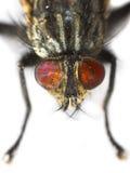 tryb fly makro Zdjęcia Royalty Free