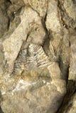 Tryck av ett fossil Arkivfoto