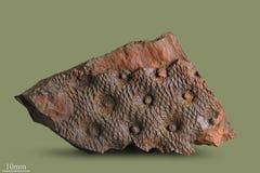 Tryck av forntida växter Fotografering för Bildbyråer