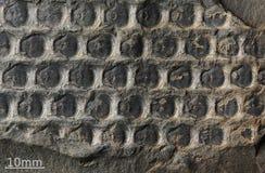 Tryck av forntida växter Arkivfoton