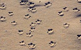 Tryck för simhudsförsedd fot för Seagull (spår) på sand Royaltyfri Fotografi