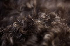 Tryck för tapet för bakgrund för makro för hår för Lagotto romagnolohund högkvalitativa royaltyfri foto