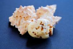 Tryffel i vit glasyr med valnöten och snäckskal arkivbild