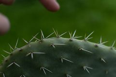 Trying not to get hurt. Trying to touch cactus with great thorns stock image