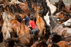 Trying to tame horses Royalty Free Stock Photography