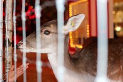 Trying to touch a deer behind the fence Royalty Free Stock Image