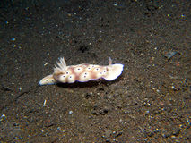 Tryoni Nudibranch 01 Risbecia Стоковое фото RF