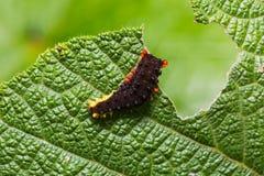 Trypanophora hyalina moth caterpillar Stock Photos