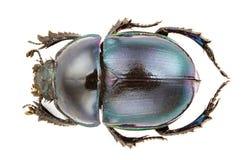 trypocopris pyrenaicus Стоковые Фотографии RF