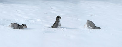 Tryptic of dog in snow. Three pictures of a puppy playing in deep snow royalty free stock photo