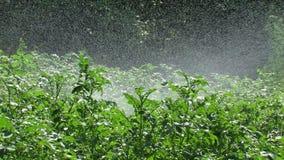 Tryskaczowa kartoflana plantacja zdjęcie wideo