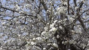 Trząść wiatrem kwitnąć gałąź z wiosną kwitnie Materia? Filmowy swobodny ruch zbiory