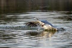Trzaska lądowanie jako seagull ląduje na wodzie zdjęcia stock