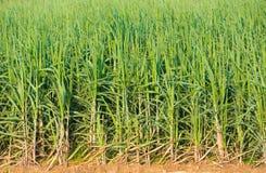 Trzcin cukrowa rośliny Obrazy Royalty Free