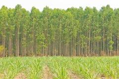 trzcina cukrowa eukaliptusowy drzewo Zdjęcia Royalty Free