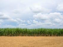 Trzcina cukrowa i ziemia. Zdjęcia Royalty Free