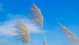 Trzcina cukrowa kwitnie z b??kitnym chmurnym niebem zdjęcie royalty free