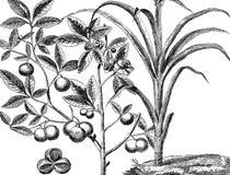 trzcina Herbata royalty ilustracja