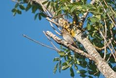 Trzcinowa chorągiewka na drzewie Obrazy Royalty Free