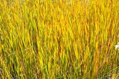 Trzcinowa roślina Wzdłuż zatoczki Zdjęcie Stock