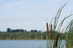 trzcinowa rzeka Obraz Royalty Free