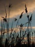 Trzcinowa trawa w wieczór Obraz Stock