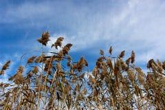 Trzcinowej trawy Phragmites w północnym wschodzie Ohio fotografia stock