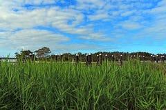 Trzcinowej trawy przedpole z niebieskimi niebami zdjęcia stock