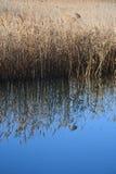 Trzcinowej trawy wody odbicie Obrazy Stock