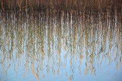 Trzcinowej trawy wody odbicie Fotografia Stock
