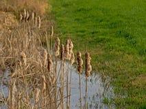 Trzcinowi kolce w basenie wzdłuż bujny zielenieją łąkę fotografia royalty free
