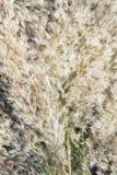 Trzcinowi samiec kwiaty Fotografia Stock