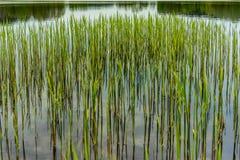 Trzcinowy dorośnięcie od spokojnego jeziora Obrazy Royalty Free