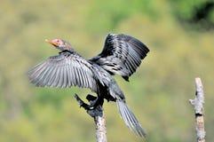 Trzcinowy kormoran Obrazy Stock