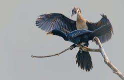 Trzcinowy kormoran Zdjęcia Royalty Free