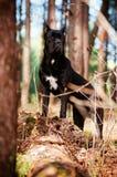 Trzciny corso pies w lesie Obraz Royalty Free