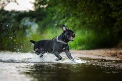 Trzciny Corso pies w naturze Zdjęcie Royalty Free
