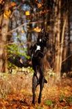 Trzciny corso psa doskakiwanie i chwytający jesień liść Obraz Royalty Free