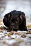 Trzciny corso psa lying on the beach na śnieżnym portrecie Zdjęcia Stock