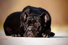 Trzciny corso psa lying on the beach na betonie Fotografia Royalty Free