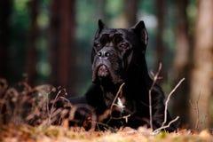 Trzciny corso psa portret Obrazy Royalty Free