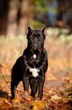 Trzciny corso psa portret w spadać liść Zdjęcie Stock