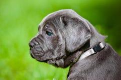 Trzciny corso szczeniak z niebieskimi oczami Fotografia Royalty Free