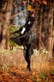 Trzciny corso trakenu psa doskakiwanie Zdjęcie Royalty Free
