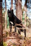 Trzciny corso trakenu psa portret w lesie Obraz Royalty Free