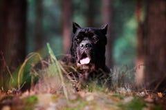 Trzciny corso trakenu psa portret w lesie Zdjęcia Stock