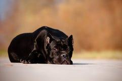 Trzciny corso trakenu psa portret w lesie Fotografia Royalty Free
