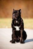 Trzciny corso trakenu psa portret w lesie Obrazy Royalty Free