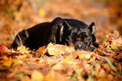 Trzciny corso trakenu psa portret w lesie Obraz Stock